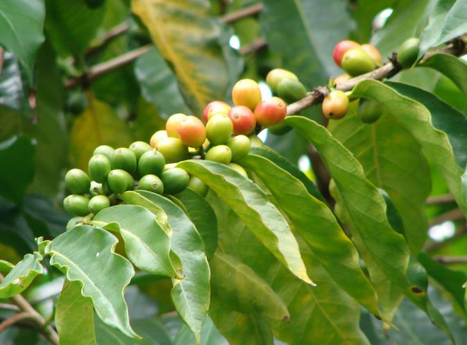 organic coffee plant
